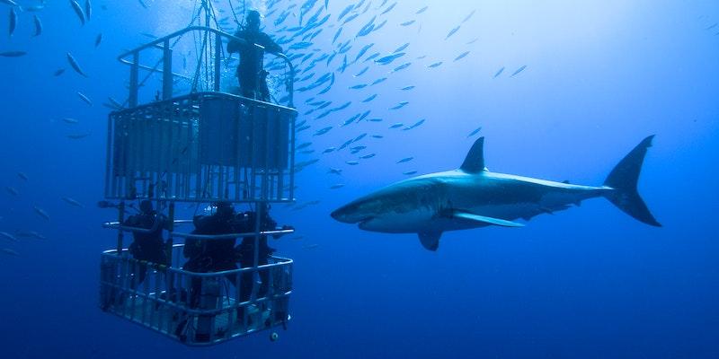 dove andare a vedere il grande squalo bianco